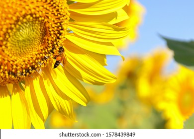 Close up to bee on sunflower field.