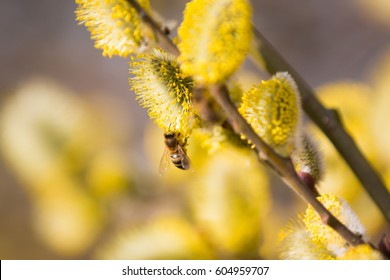 Close up of bee on yellow blooming pussy willows in spring time
