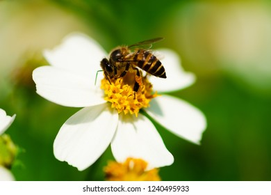 Close up of bee pollinates on yellow beautiful flower (asteraceae) pollen on green nature blurred background