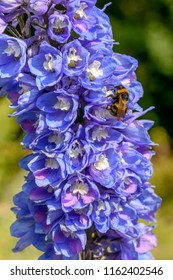 close up of bee pollinating blue flower , shot on a bright summer day at Gressoney Saint Jean,  Lys valley, Aosta, Italy
