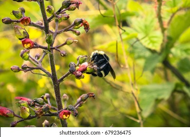 Close up of bee pollinating a California bee plant (Scrophularia californica) blooming on the Pacific Ocean coastline, Moss Beach, California