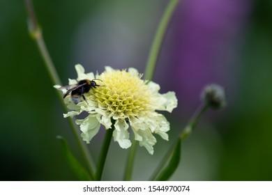 Close up of a bee pollinating a cream pincushion (scabiosa ochroleuca) flower