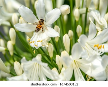 Close up of bee pollinating white agapanthus flower.