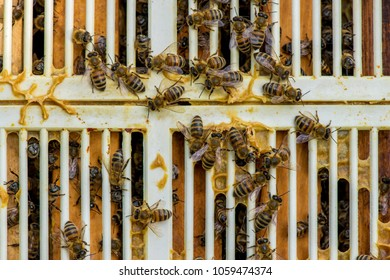 close up of bees on honeycomb in apiary and a queen excluder grille - selective focus, copy space