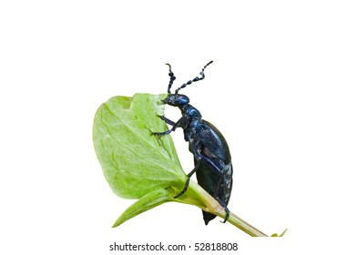 A close up of the beetle (Meloe sp. violatus) eating to leaf. Male. Isolated on white.