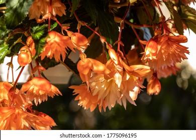 Close up of Begonia Illumination Orange flowers