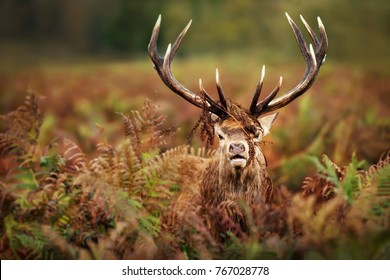 Close up of a bellowing stags showing his power and strength during rutting season in fall, UK.