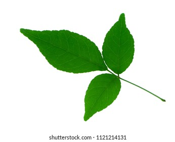 Close up of Bengal Quince leaf on white background. (Aegle marmelos Correa)