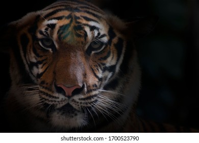 Close up of  a bengal tiger.