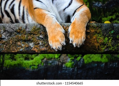 close up of bengal tiger paws with lush green forest background