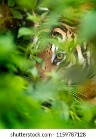 Close up of Bengal tiger wandering in bushes for hunting in Kabini forest, Karnataka , India