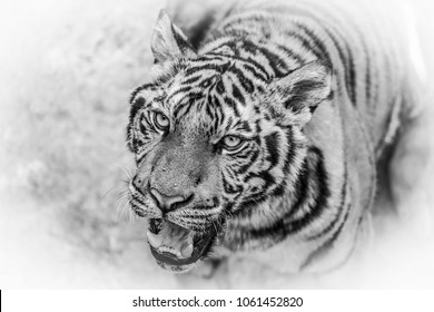 Close up  Bengal Tiger wild animal  black and white