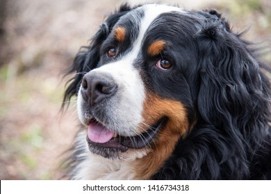 Close up of Bernese mountain dog. Beautiful expression of the dog's head.