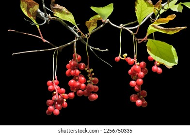 A close up of the berries of Far-Eastern medicinal plant (Schisandra chinensis). Isolated on black.