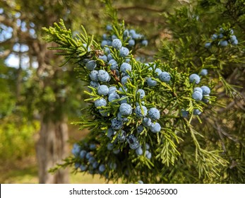 close up of the berries on an Eastern Redcedar tree in Michgian