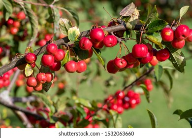 Close up berries on a malus tree.
