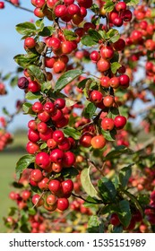 Close up berries on a malus tree with a sky background.