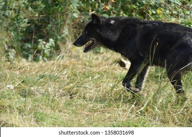 Close up of a big beautiful black wolf walking around exploring a woods forest in the summer day time.