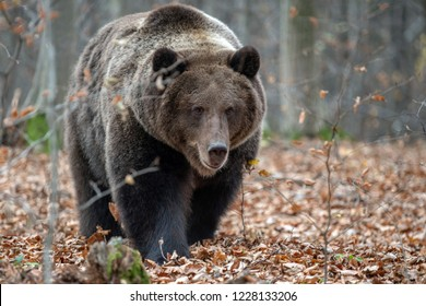 Close up big brown bear in autumn forest