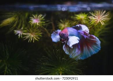 Close up of Big era  Siamese fighting fish