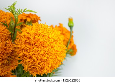 close big fresh yellow marigold 260nw