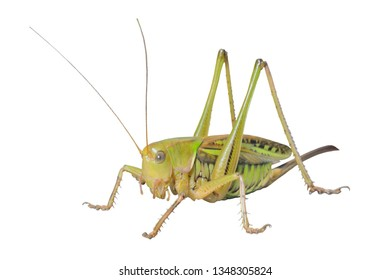 A close up of the big grasshopper, doe. Isolated on white.