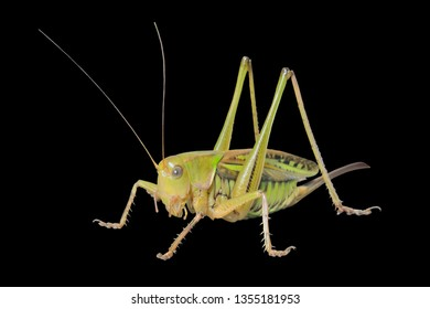 A close up of the big grasshopper, doe. Isolated on black.