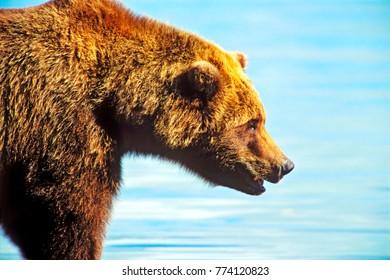 Close up of  big Grizzly Bear walking along water, Katmai National Park, Alaska,