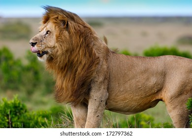 Close up of big Lion Grimace, son of famous Lion Notch, in Masai Mara, Kenya
