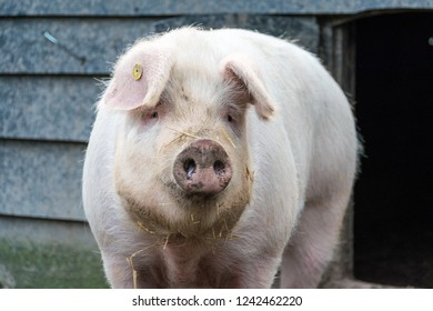 Close up of a big pig standing in front of a wooden farm building