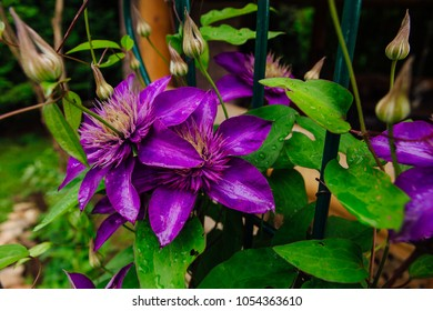 Close up big purple flowers named Clematis or President flower