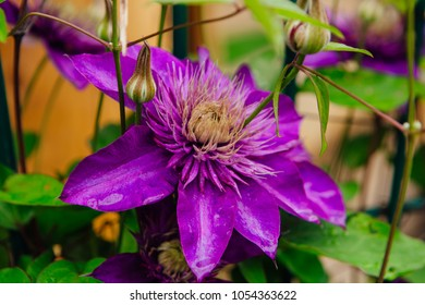 Big purple flowers stock images royalty free images vectors close up big purple flowers named clematis or president flower mightylinksfo Images