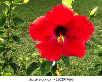 Close up of big red hibiscus flower