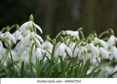 Close up big snowdrop at eastern against dark background with copy space
