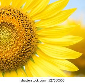close up of big sunflower flower
