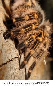 Close up to big Tarantula on wood background
