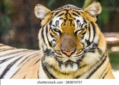 Close up of a big tiger outdoor in Thailand, Asia.