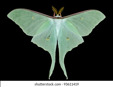 A close up of a big and very beautiful night butterfly (Actias artemis). Isolated on black.