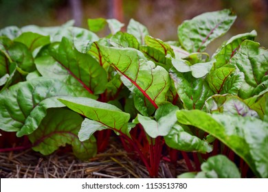 A close up of bight leafy greens in a garden. As bright and colorful as they are nutritious. Swiss Chard.