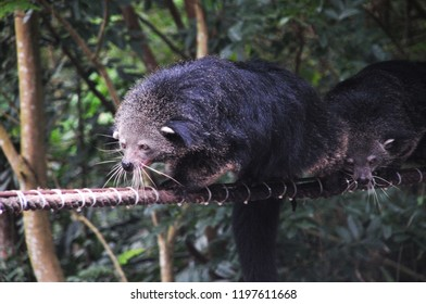 Close up  Binturong or Bearcat (Binturong or Arctictis Binturong ) climbing on the rope