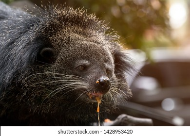 Close up of binturong face eating food on pole; bearcat is widespread in south and southeast Asia
