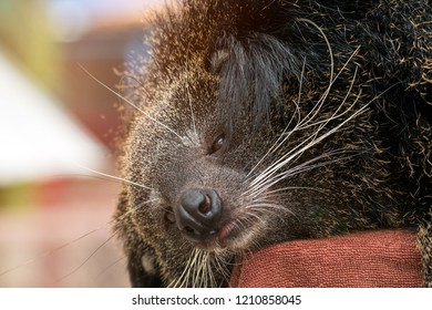 Close up of binturong face sleeping on pole; bearcat is widespread in south and southeast Asia