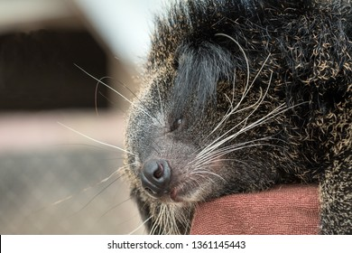Close up of binturong face sleeping on red pole; bearcat is widespread in south and southeast Asia