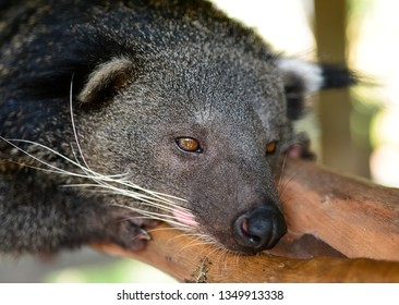 Close up of binturong, Thailand