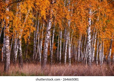 Close up of birch forest foliage in bright autumn colors, Belgorod region in southern Russia