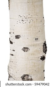 Close Up Birch Tree Isolated on White Background