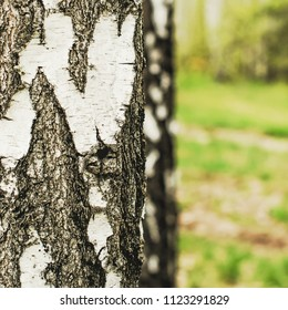 Close up of the birch trunk located on a birchwood background