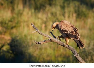 Close up bird of prey, Tawny eagle, Aquila rapax, large raptor from Kalahari desert, walking on branch against colorful, dry savanna in background. Wildlife photography, Kgalagadi park, Botswana.