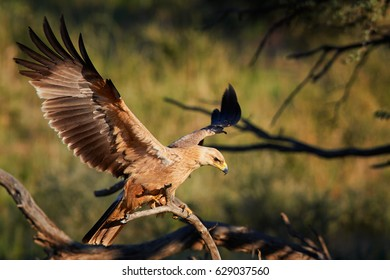 Close up bird of prey, Tawny eagle, Aquila rapax, large raptor with outstretched wings landing on branch, against colorful, dry savanna in background. Wildlife photography, Kgalagadi park, Botswana.