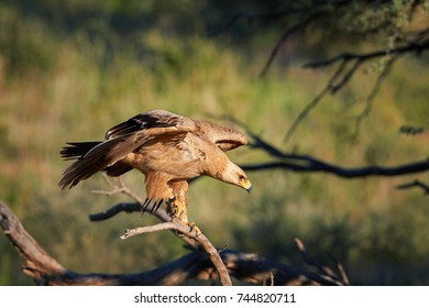 Close up bird of prey, Tawny eagle, Aquila rapax, large raptor with partly outstretched wings landing on branch, against colorful,dry savanna in background.